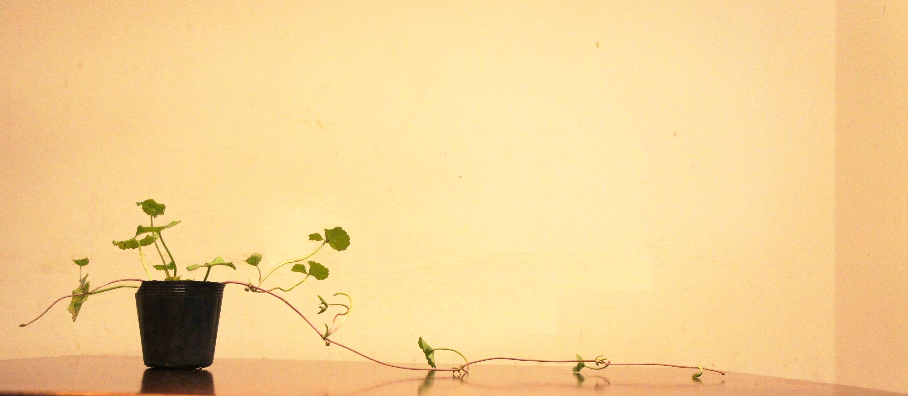 能力アップハーブ「つぼくさ」をご存知ですか? スリランカの友人が「スリランカでは頭が良くなるハーブといって、すごく有名。アーユルヴェーダで一番有名な植物だと思うよ」と教えてくれました。静脈の血流を促すということで、アルツハイマーにも良いとか、実は私は先週から毎日飲んでます。
